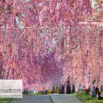 一度は行きたい! 絶景桜 2020全国版 001