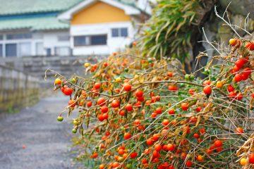田代島のニャンころりん。 003